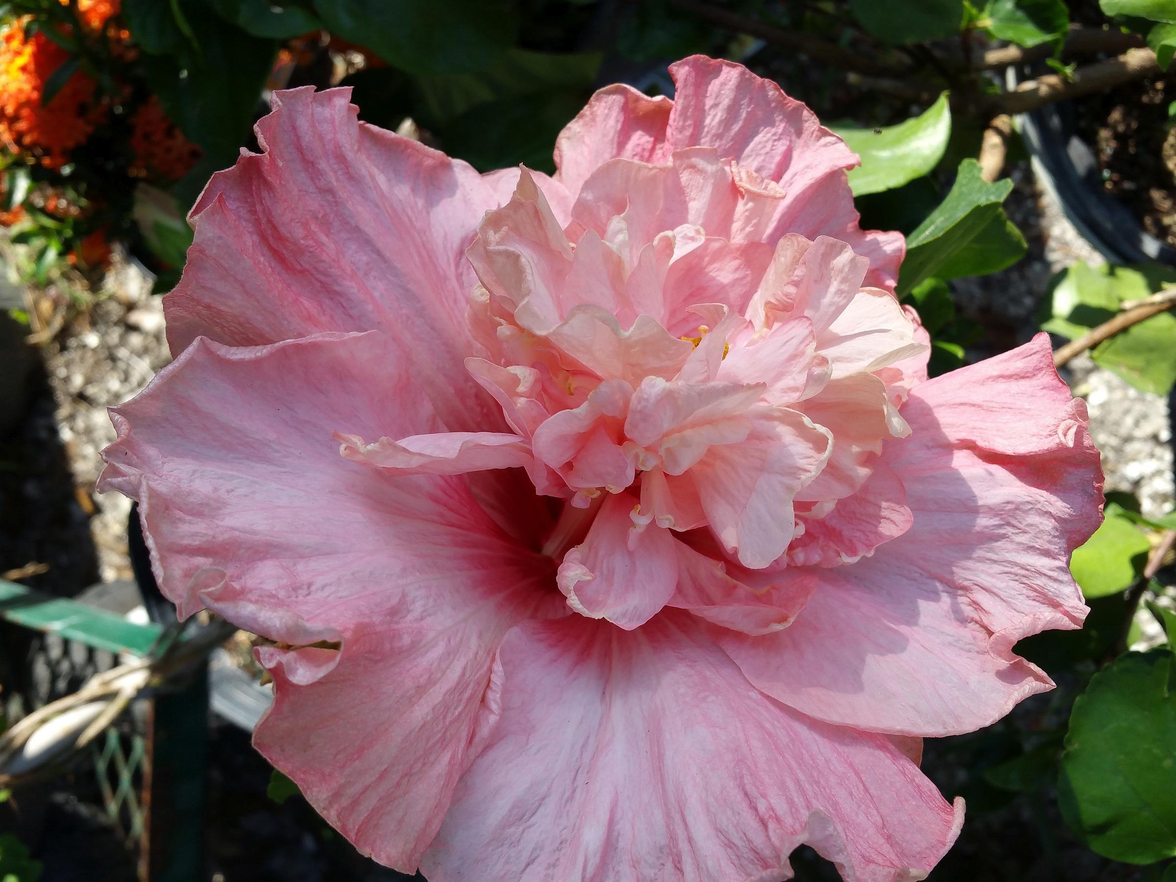 Tropical fancy exotic cajun hibiscs nectar pink double flower tropical fancy exotic cajun hibiscs nectar pink double flower izmirmasajfo Image collections