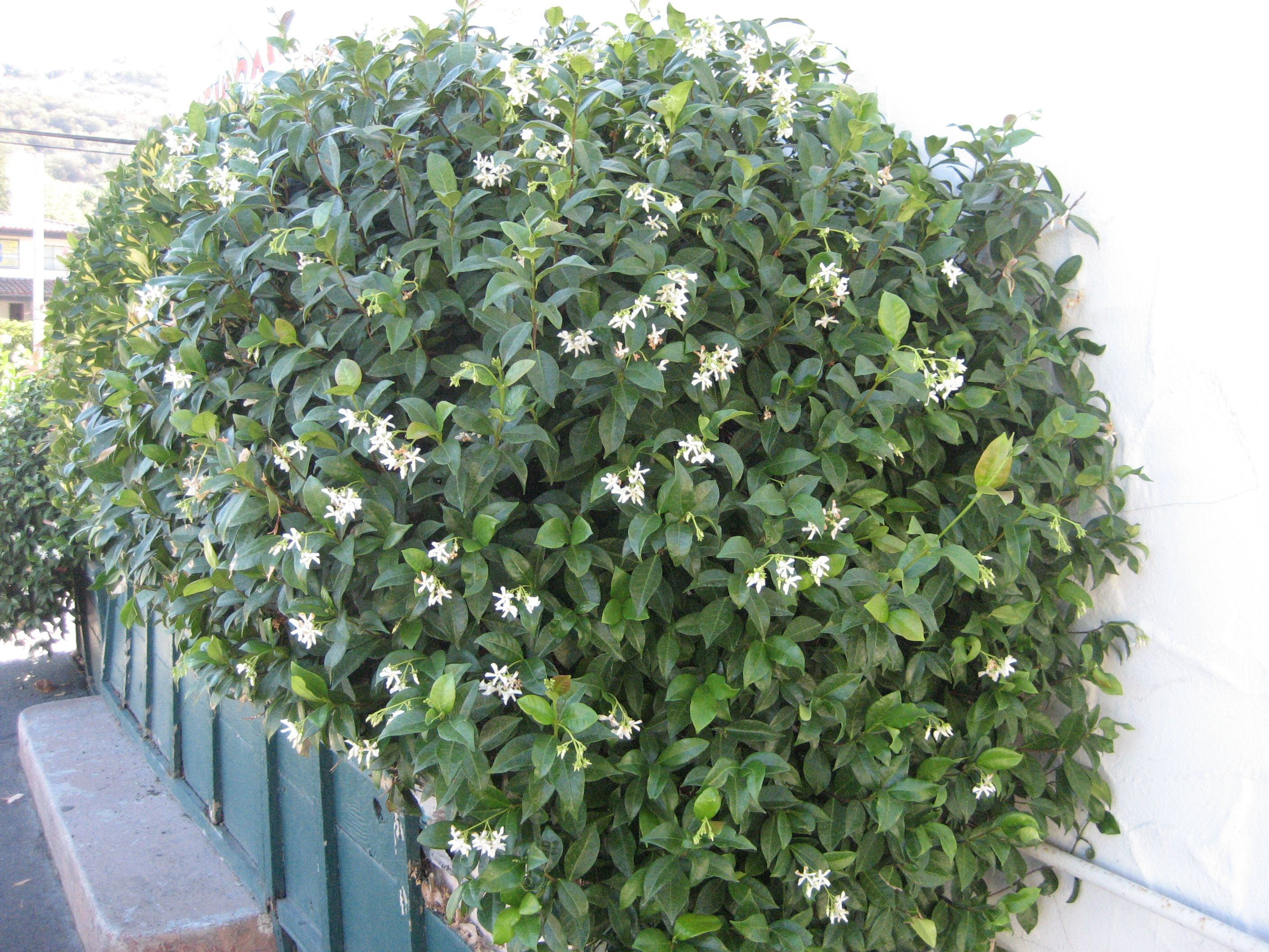 Jasminum Stenolobum 'african Pearl' 15m Tall, Drought Resistant Flowers  In Spring