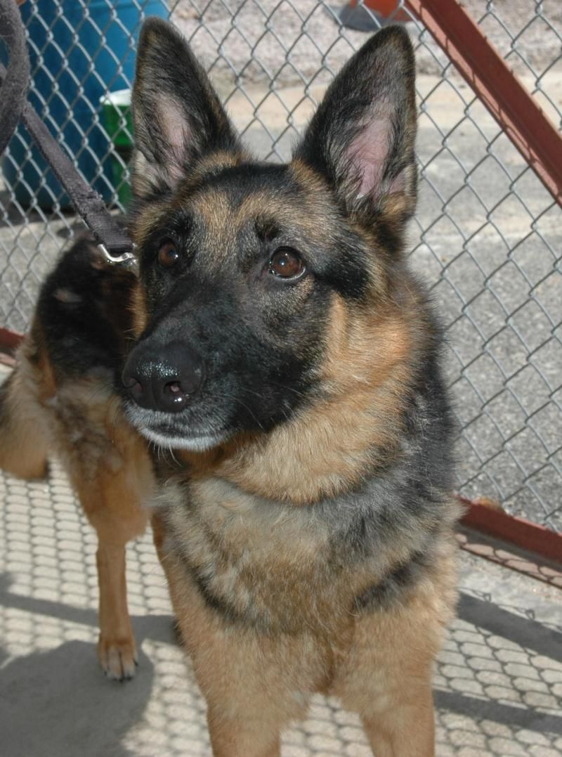 Adopt Sable On German Shepherd Dogs Animal Shelter German Shepherd