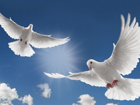Two White Dove Flying Wallpapers Dove Wallpapers Pictures Free Download Dove Flying Dove Release White Doves White pigeon hd wallpaper download