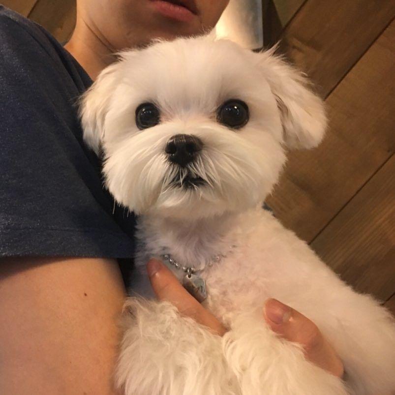 Maltese Dog Puppy Cuddles Puppy Care