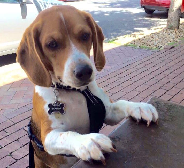 Barks And Tails On Beagle Puppy Cute Beagles Beagle