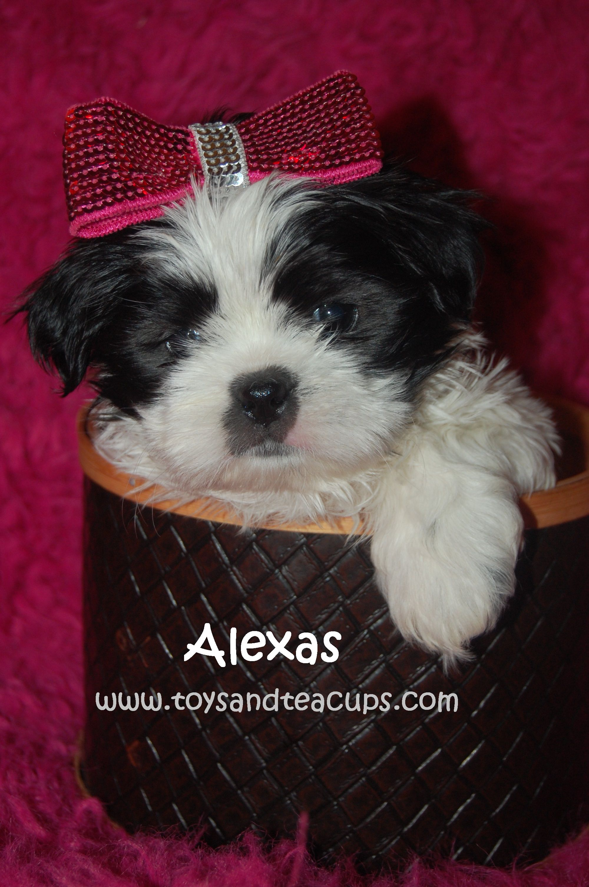 Shih Tzu Puppies For Sale Www Toysandteacups Com 256 200 0512 Shih Tzu Puppy I Love Dogs Cute Animals