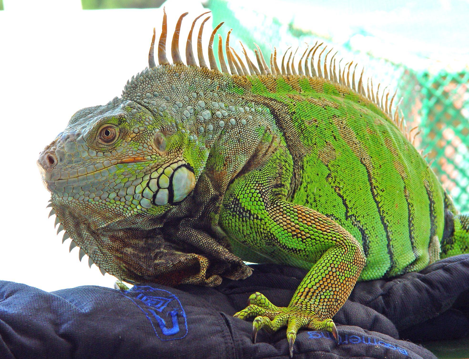 Iguanas Iguanas Iguanas What To Do About Those Pesky Creatures Pet Lizards Green Iguana Lizard