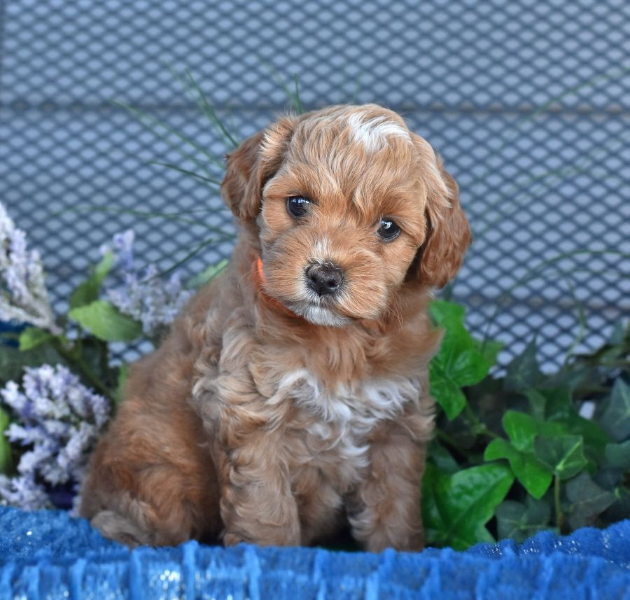 Pin By Nancy Austin On Cockapoo Puppies Cockapoo Puppies Puppies Cute Animals