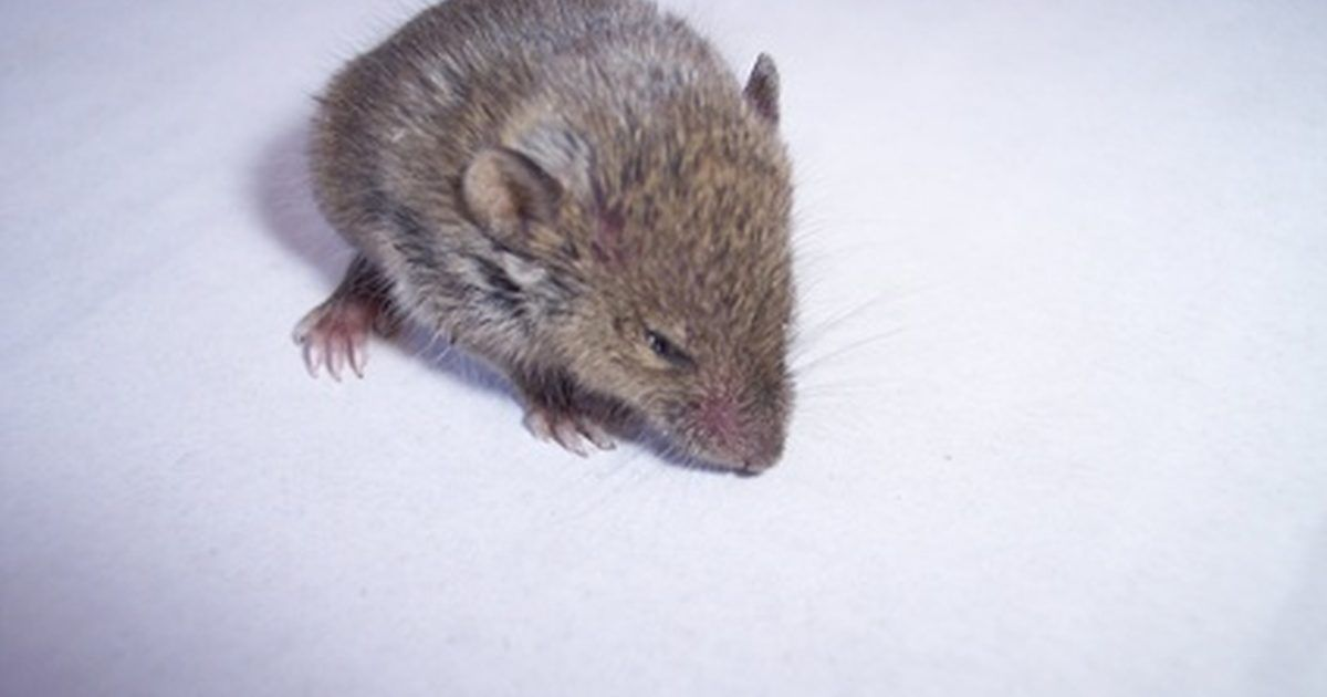 How to Find a Hole Where Mice Are Coming From in a House