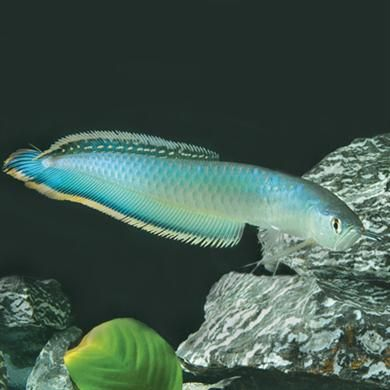 "Blue Arowana peaceful carnivore can reach 48"" S. American native; illegal in Florida; a juvenile costs $400"