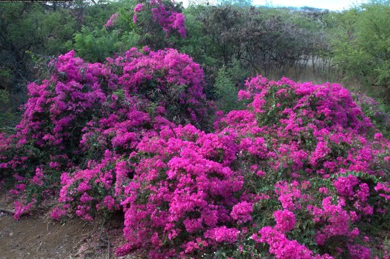 Beautiful Bougainvillea In Koko Head Botanical Garden
