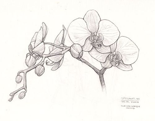 Orchid Sketch Flower Sketches Flower Drawing Orchid Drawing