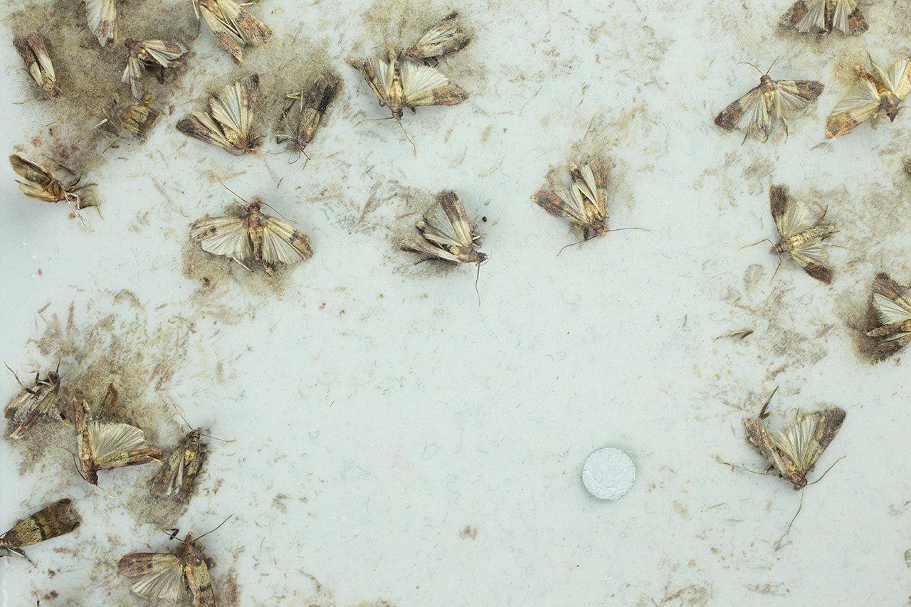 Lebensmittelmotten Was Hilft Gegen Motten In Der Kuche Womz Lebensmittelmotten Kleine Motten Motten In Der Kuche