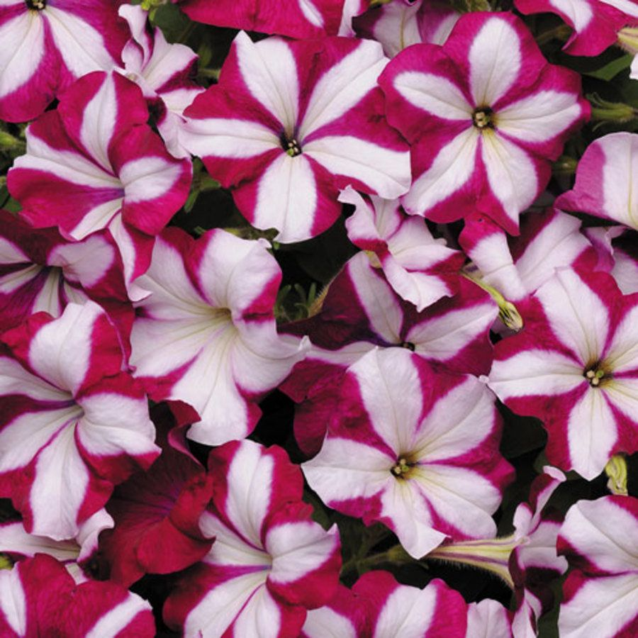 Easy Wave Burgundy Star Petunia Seeds With Images Petunia