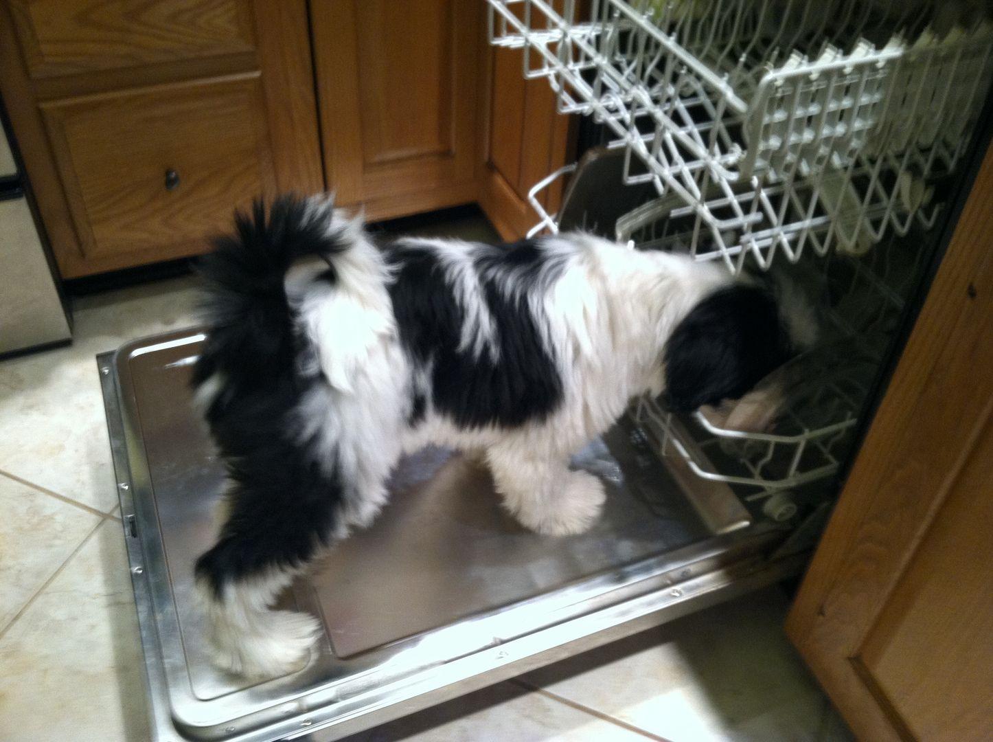Tibetan Terrier Puppies For Sale Minneapolis Mn Terrier Puppies Tibetan Terrier Puppies