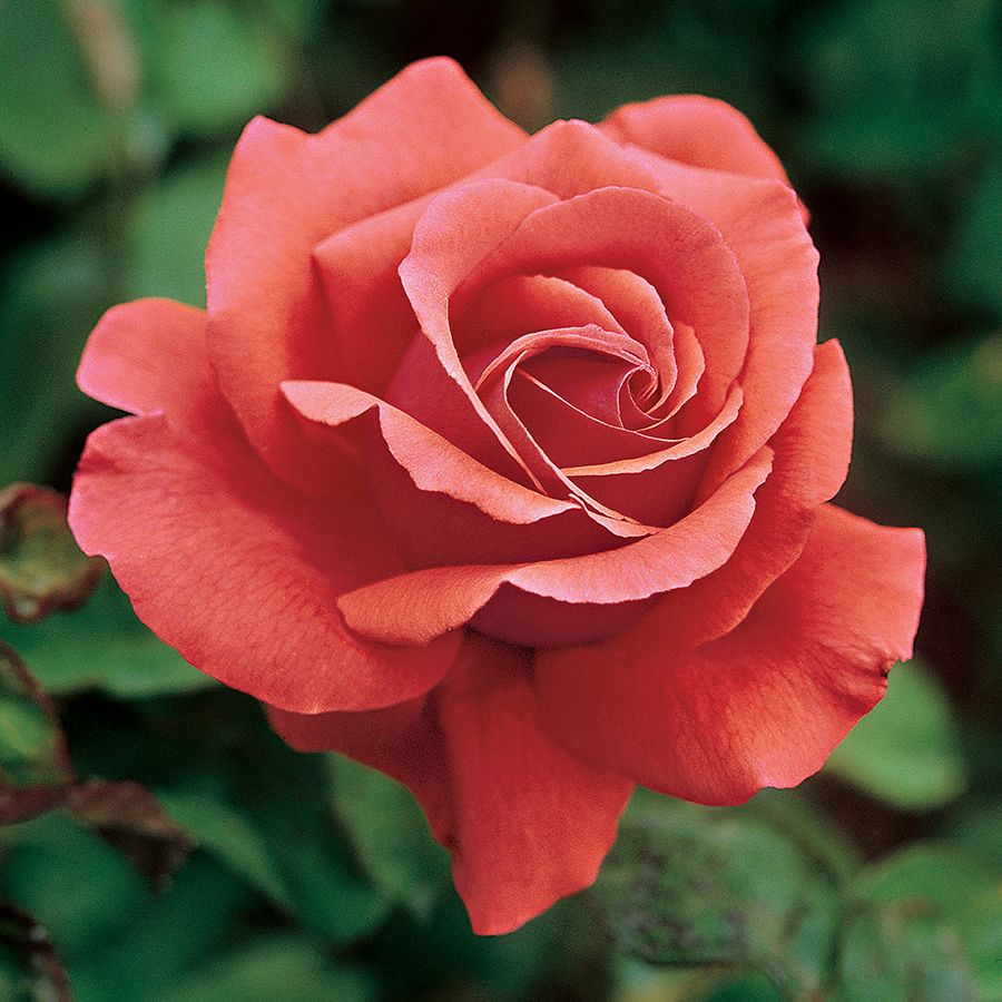 'Fragrant Cloud' Flower Magazine shares their 15 favorite rose varieties that have a scent as strong and as beautiful as their appearance.