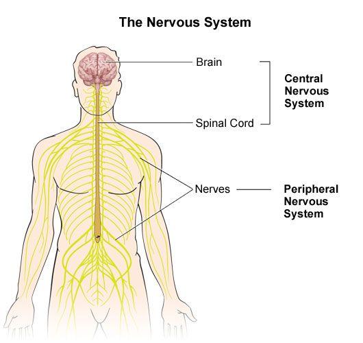 A description of the nervous system