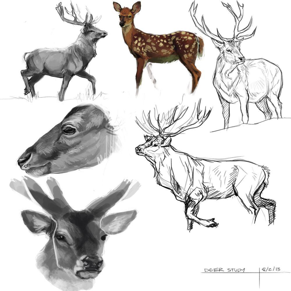Deer Study   5   Pinterest   Anatomía, De todo y Arte