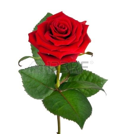 Single Beautiful Red Rose Isolated On White Background Single Red Rose Beautiful Red Roses Beautiful Roses