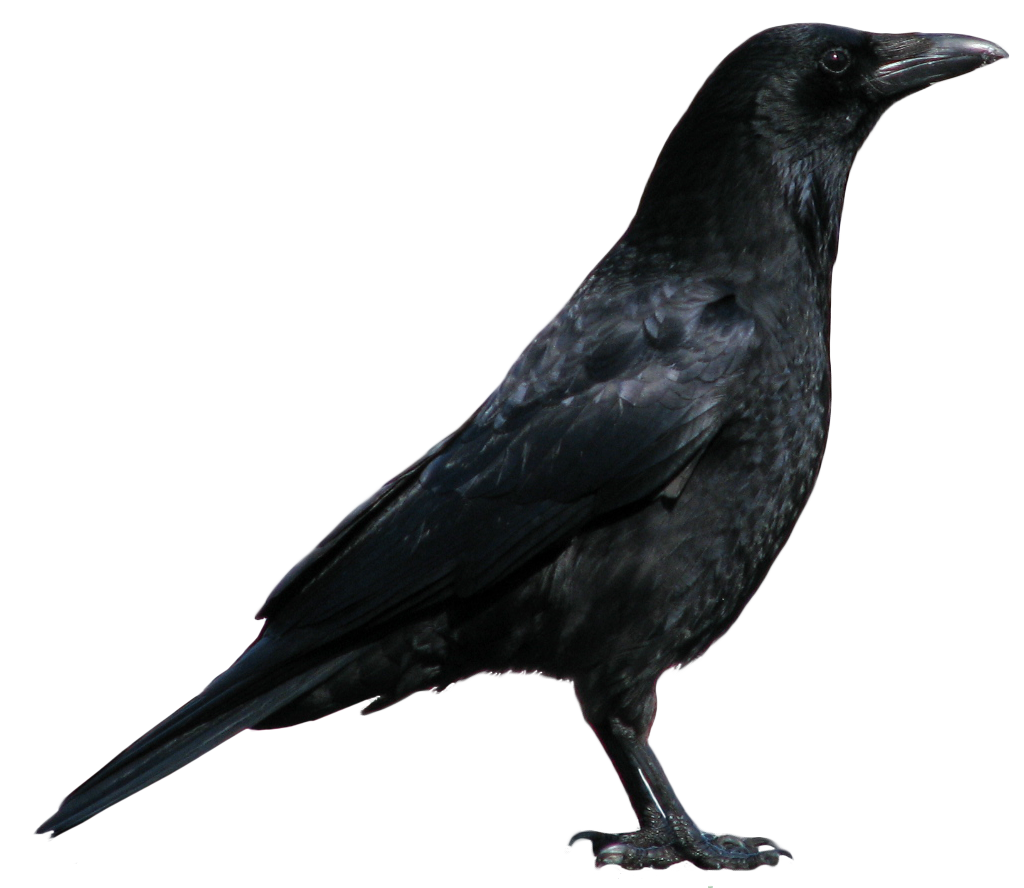 Black Crow Standing Png Image Crow Crow Pictures Black Crow
