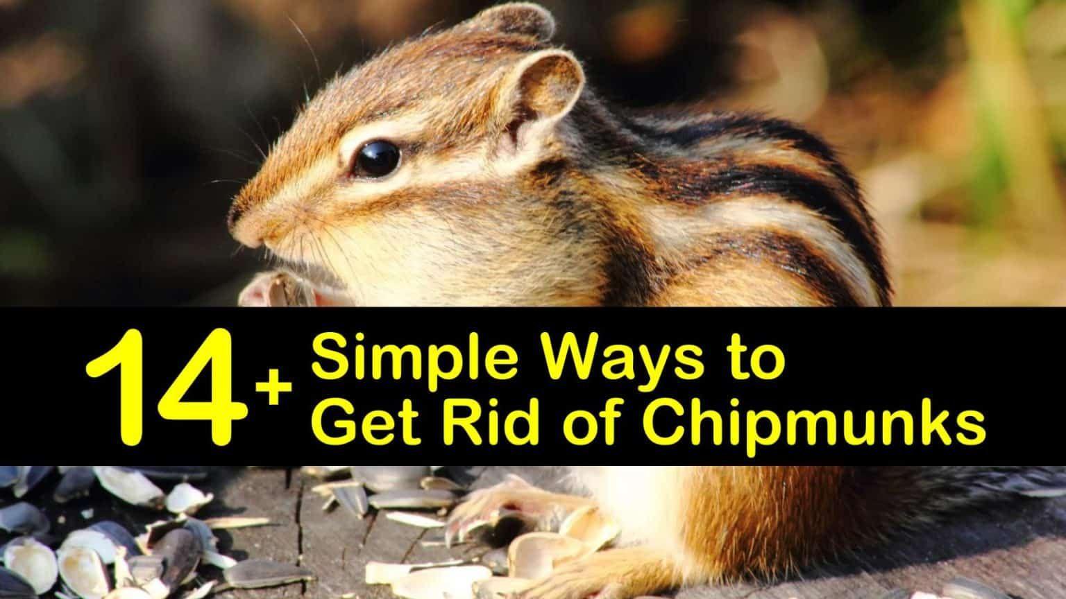 14 Simple Ways To Get Rid Of Chipmunks In 2020 Get Rid Of Chipmunks Chipmunks Chipmunk Repellent