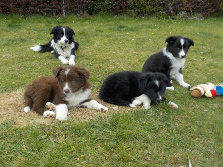 Pin Von Effey Ashby Auf My Boys Border Collies Huskies Hunde Tiere Kunst