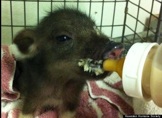 Piglet Found Running Around Hawaii Hotel Lobby Hawaiian