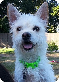 Seattle Wa Westie West Highland White Terrier Cairn Terrier
