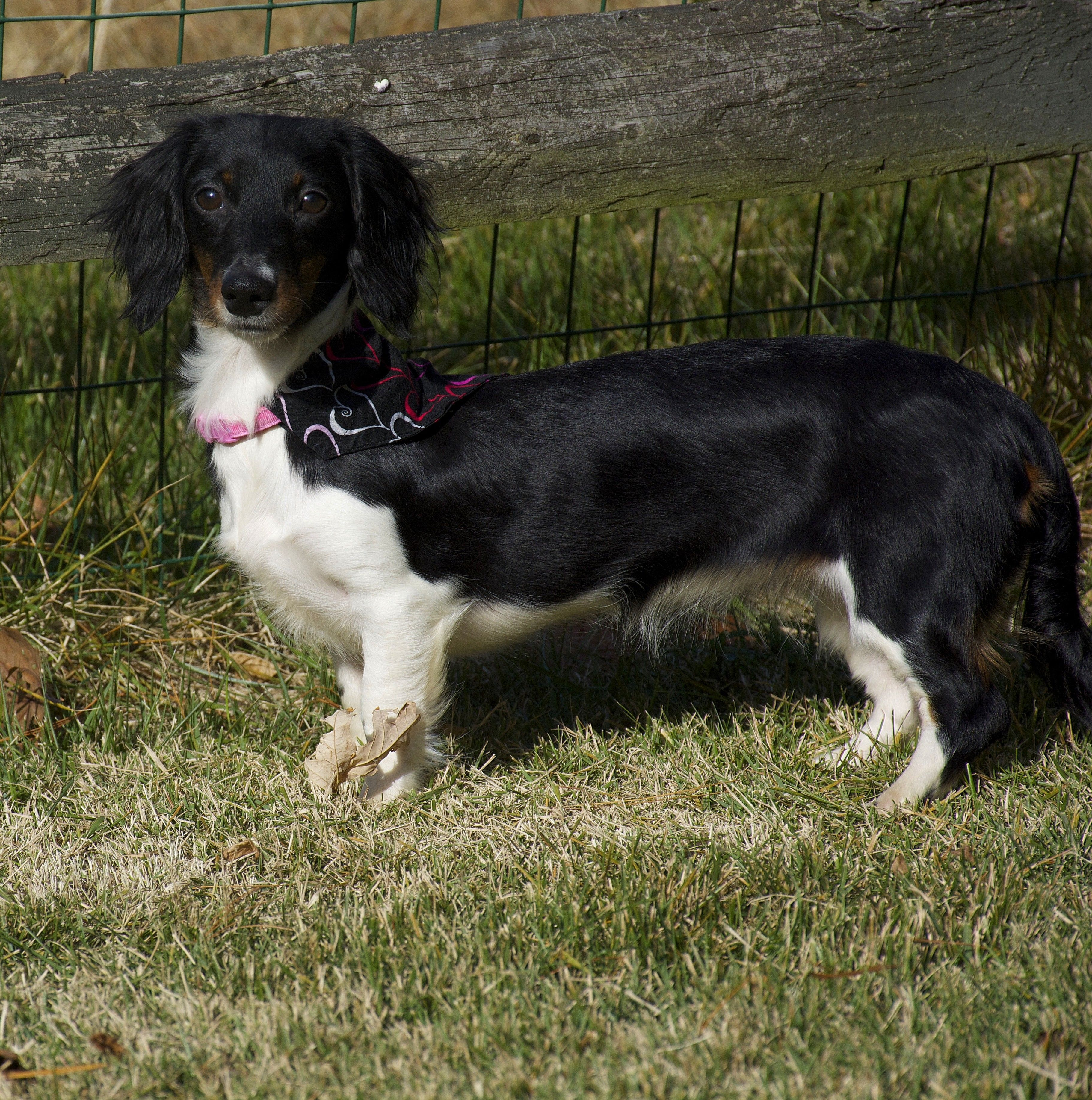 Adopt Madison A Black With White Dachshund Mixed Dog In