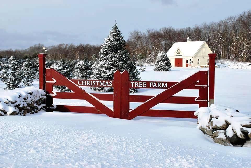 24 36 Christmas Tree Barn Christmas Farm Christmas Tree Farm Tree Farms