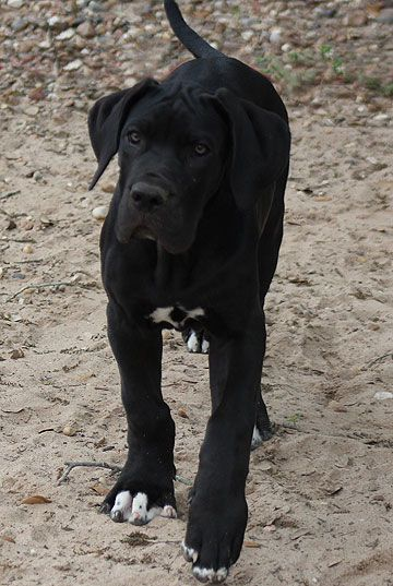 Great Dane Look At Those Paws Dane Dog Great Dane Dogs
