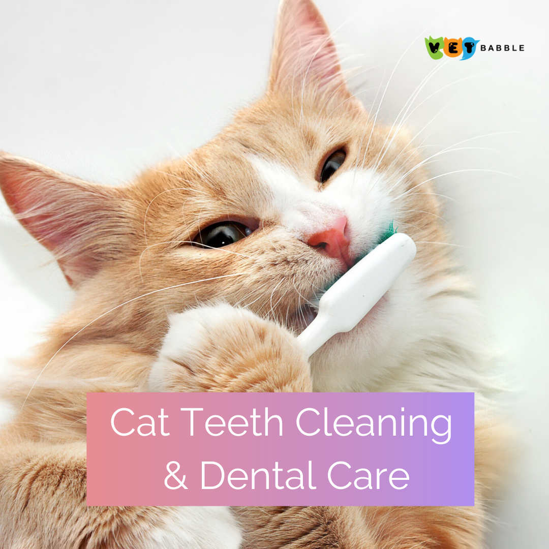 Cat Teeth Cleaning Dental Care Vetbabble In 2020 Kitten Care Cats Teeth Cleaning