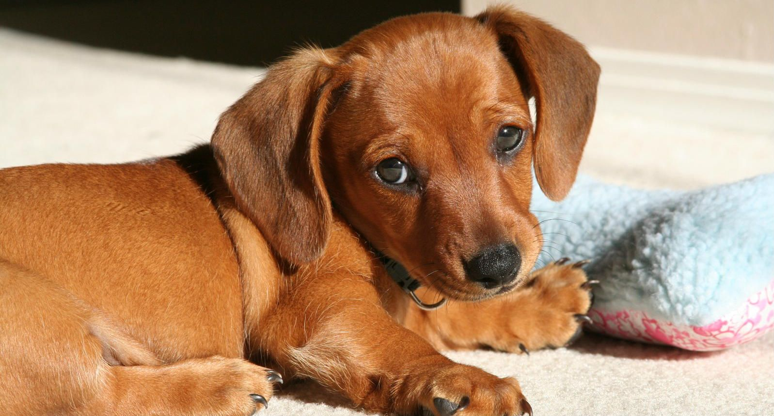 Pix For Gt Light Brown Wiener Dog Wiener Dog Aggressive Dog
