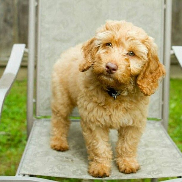 Rudy The 11 Week Old Australian Labradoodle Australian