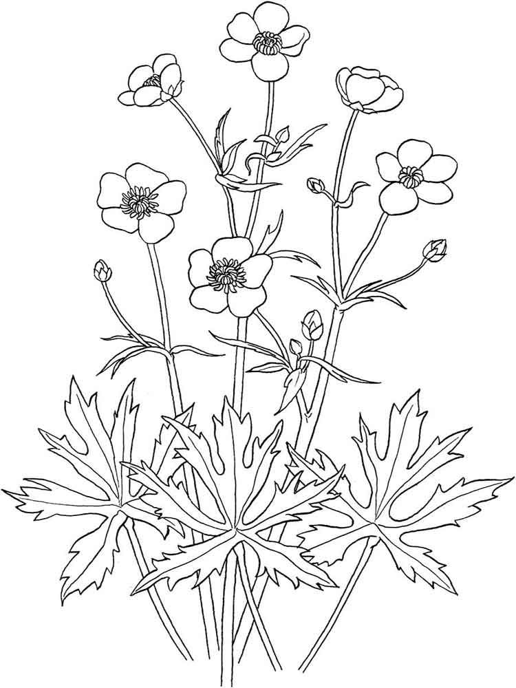 buttercup flower coloring pages | Coloring Pages For Kids in 2018 ...
