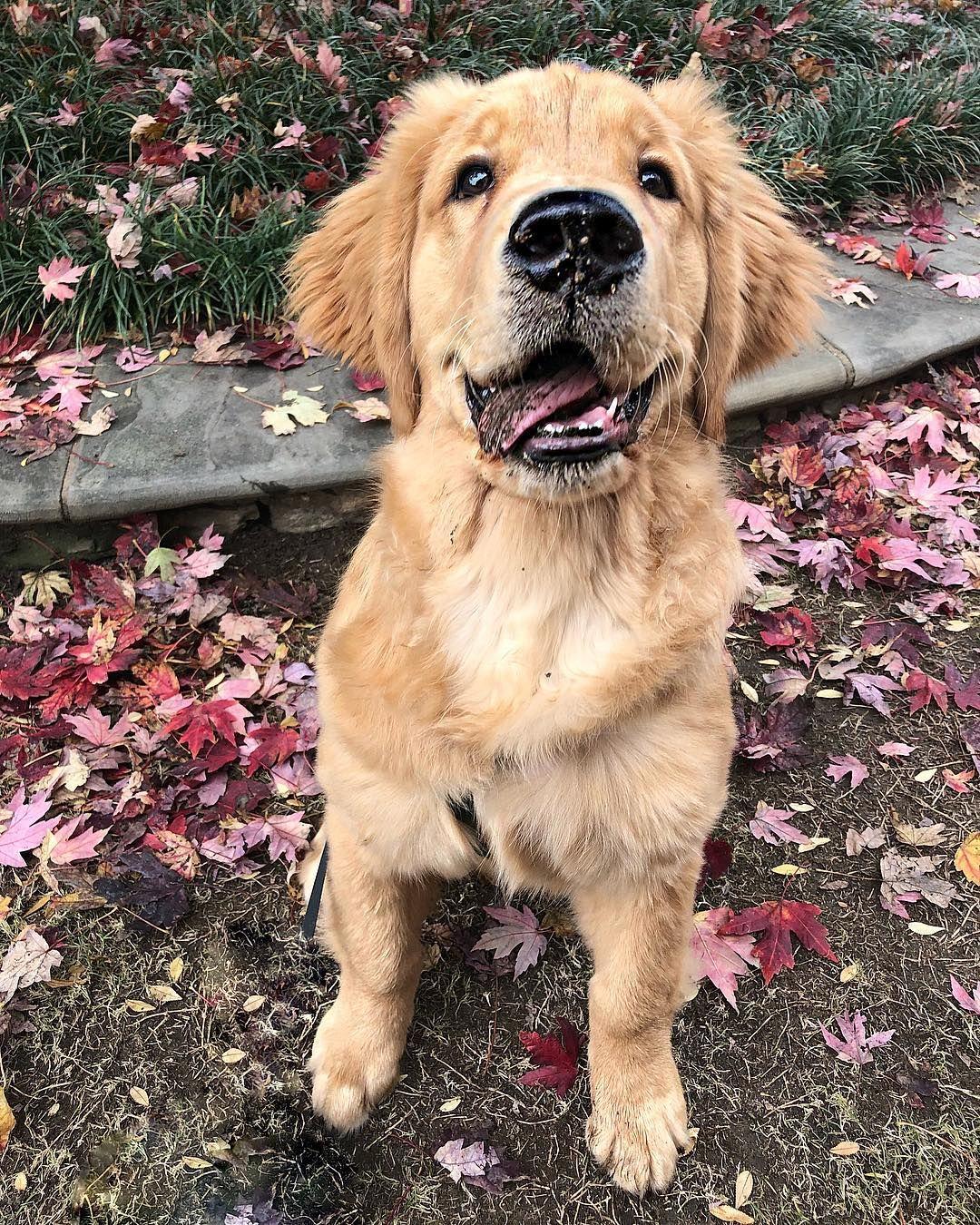 George Cute Puppies Golden Retriever Life Is Ruff