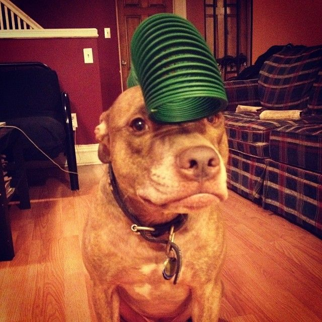 Stuffonscoutshead This Tumblr Is Pictures Of This Adorable Pit - Owners balances objects on dogs head