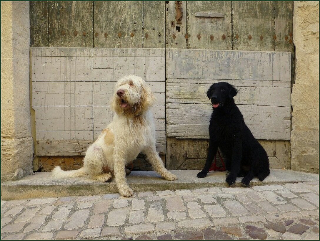 Bacio and Higgins (Italian Spinone and Curly coated Retriever )