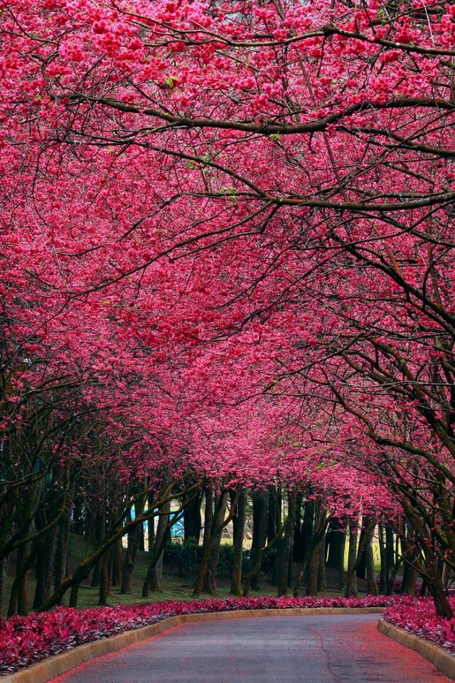 Pink Trees Flowers Road Nature Photography Spring Bloom Tree