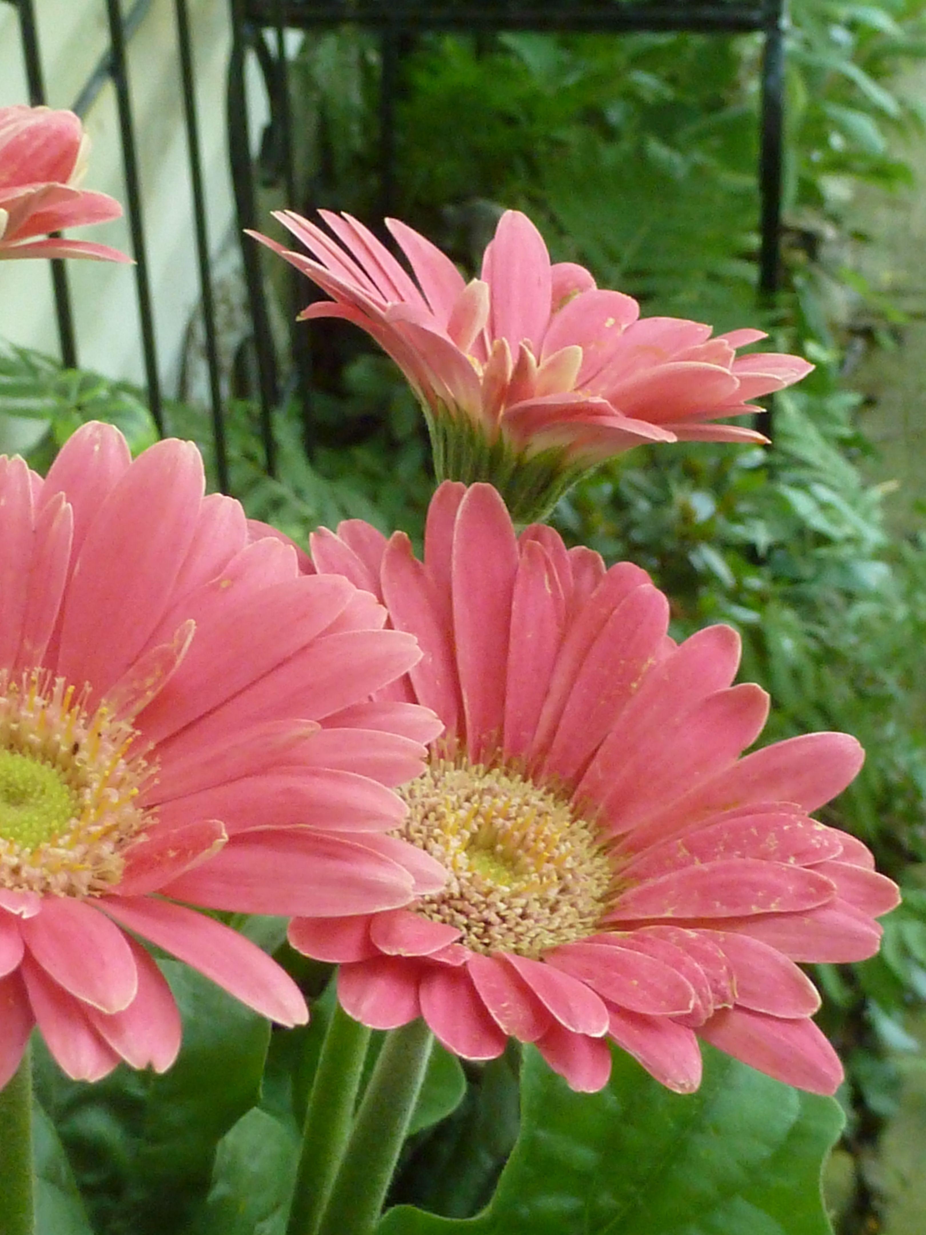 """Gerbera or """"Barbeton daisies"""""""