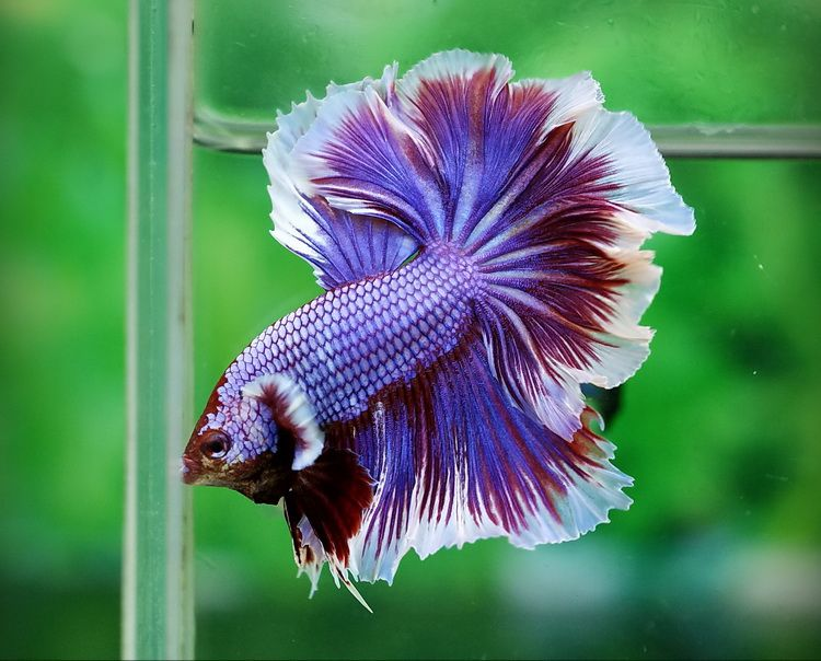 Siamese fighting fish butterfly rosetail male betta for Betta fighting fish