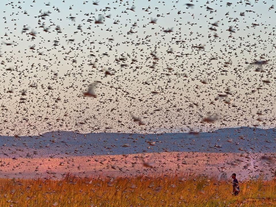 Flight of Locusts. (Photo by Michele Martinelli