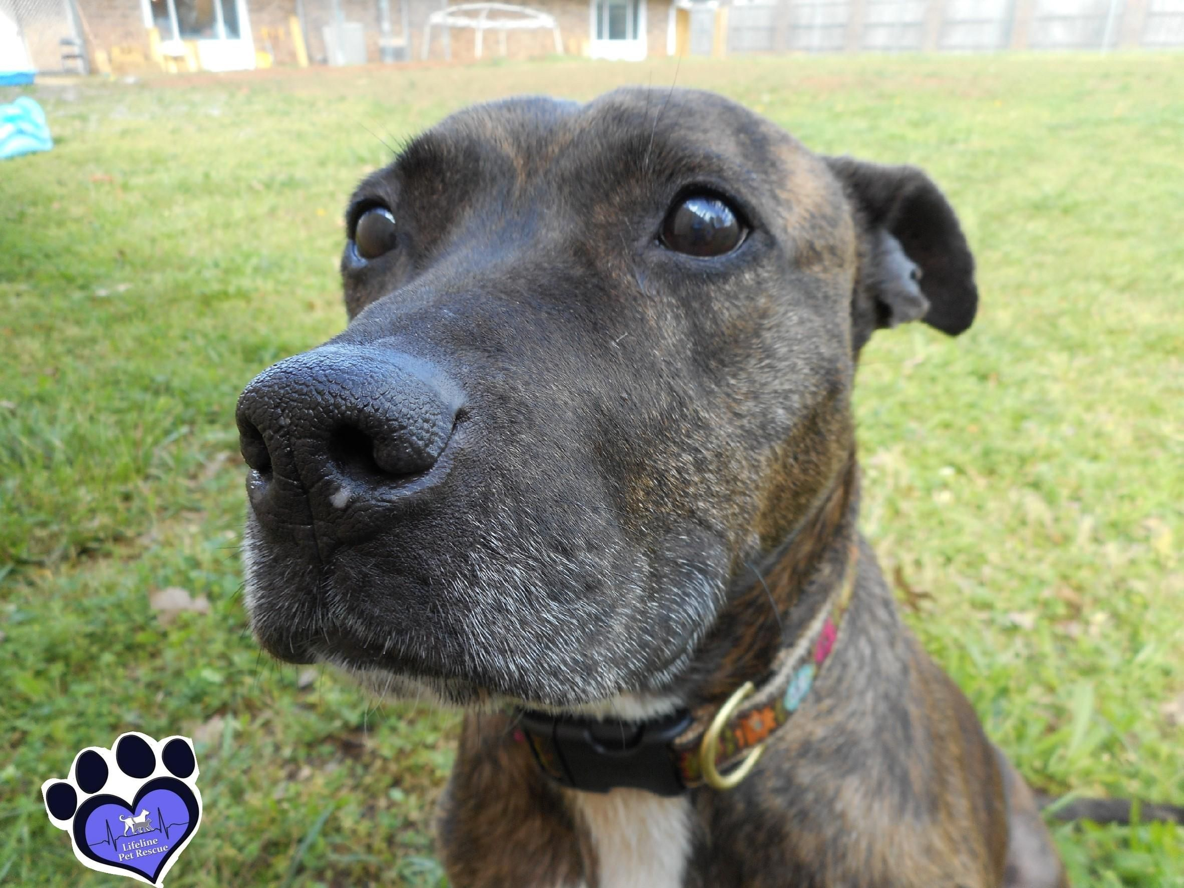 Adopt Dee On Outside Dogs Pets Pitbull Terrier