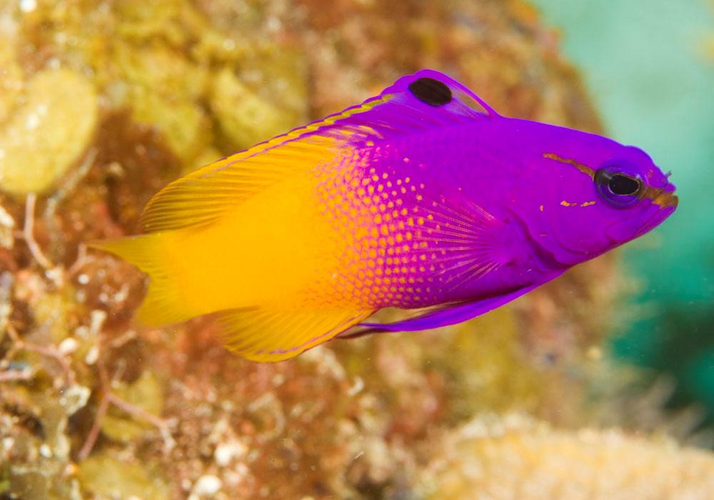 Royal Gramma Saltwater Fish Marine Fish Tropical Fish Cool Fish