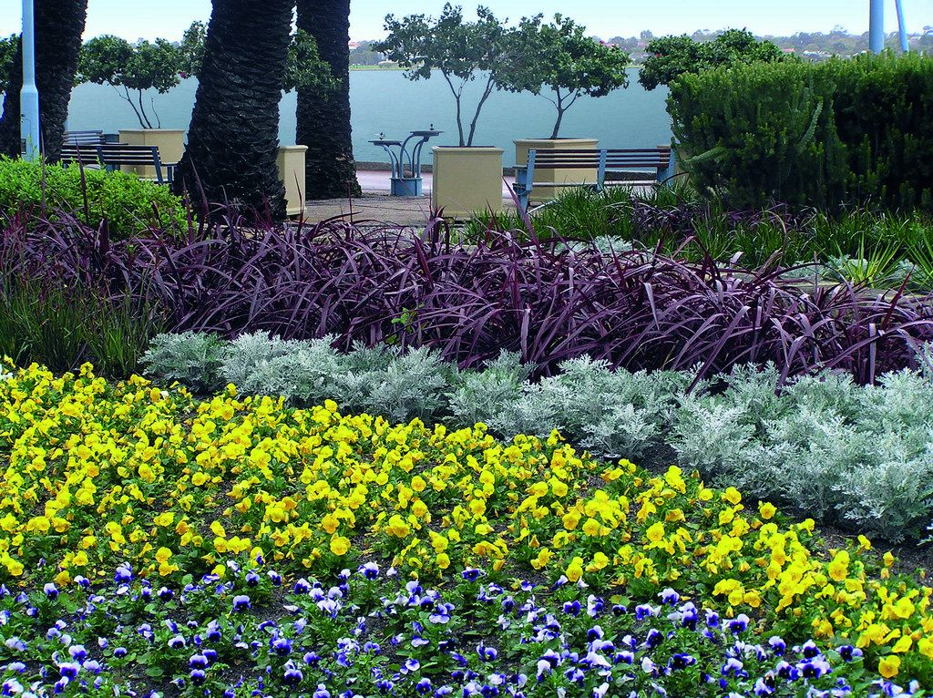 Festival 39 burgundy 39 in landscape low maintenance plants for Low maintenance drought tolerant plants