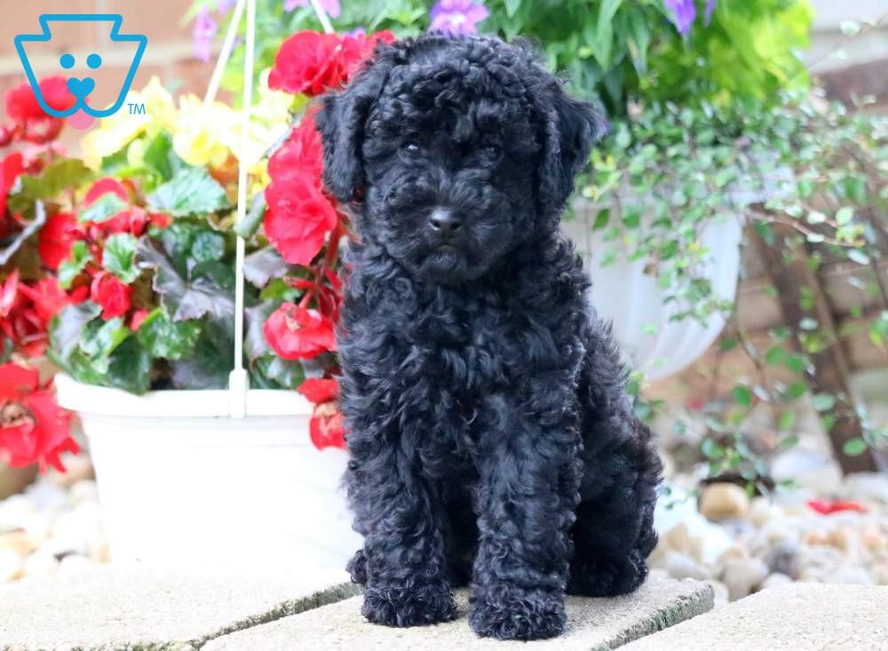 Mango Poodle Toy Puppy For Sale Keystone Puppies Dog Breeds Toy Puppies For Sale Toy Puppies