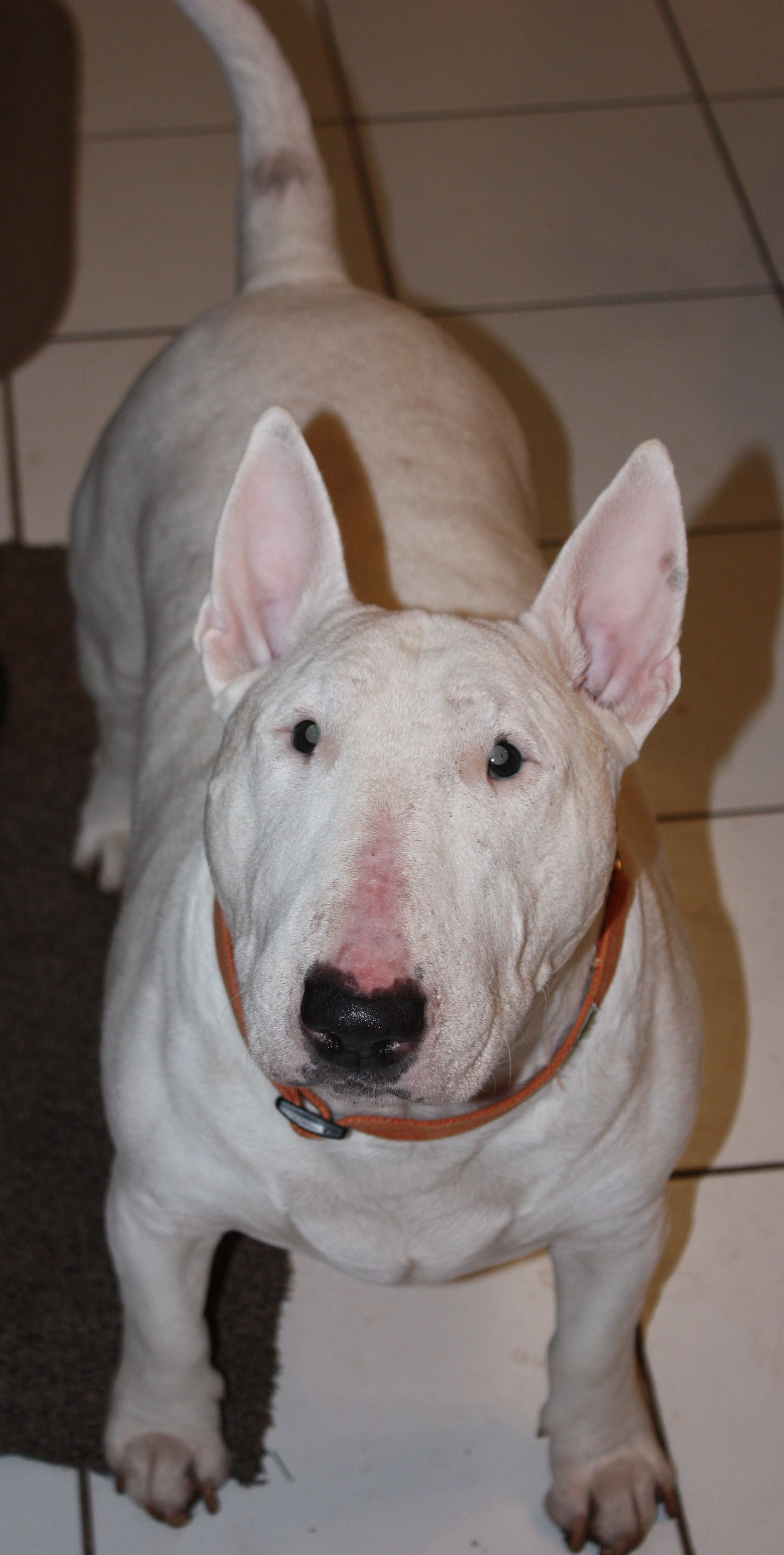 Frankie Bull Terrier For Adoption Aroud 75 Lbs And Needs Some Leash Manners Too But Otherwise He Is A Swee Dog Friends Bull Terrier English Bull Terriers