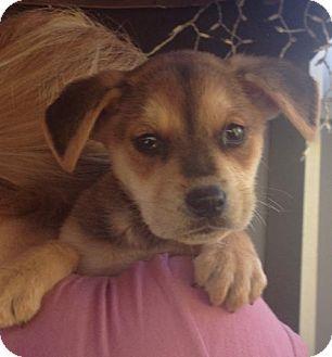 Long Beach Ca Australian Shepherd Labrador Retriever Mix Meet Finnegan A Puppy For Adoption Puppy Adoption Labrador Retriever Mix Kitten Adoption