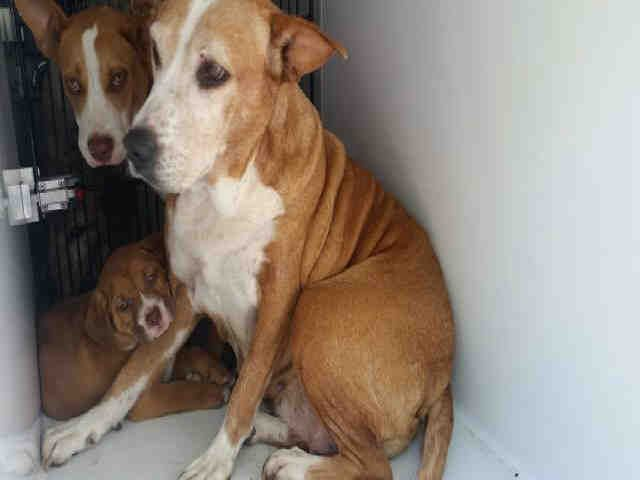 No Longer Listed 03/31/17-HOUSTON - EXTREMELY URGENT LUCIE - ID#A300246 My name is LUCIE I am a spayed female, red Labrador Retriever mix. The shelter staff think I am about 7 years old. I have been at the shelter since Mar 30, 2017. This information was refreshed 41 minutes ago and may not represent all of the animals at the Harris County Public Health and Environmental Services.