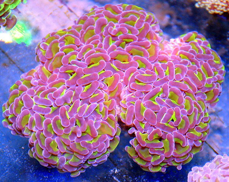 Buy Lps Corals Lps Frags For Sale Lps Coral Frags Lps Frags Saltwater Aquarium Fish Coral Reef Aquarium Saltwater Aquarium