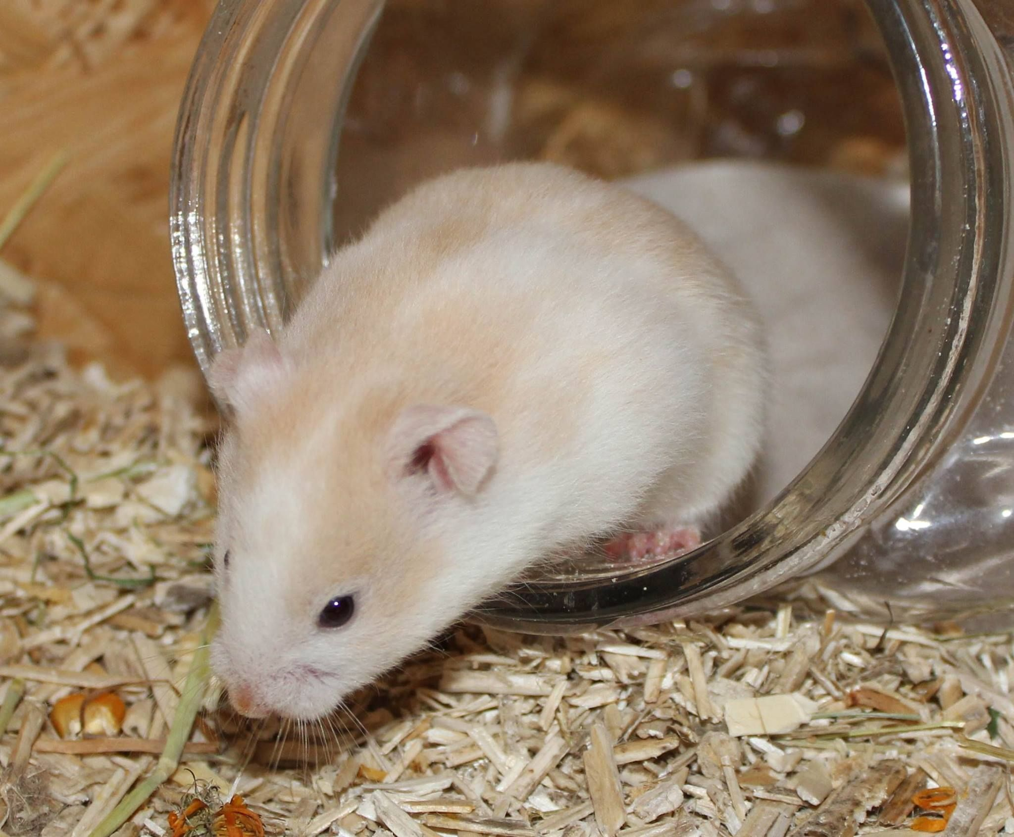 Photos From Hamsterzucht Von Sweetness S Post Hamsterzucht Von Sweetness With Images Pet Rats Syrian Hamster Dwarf Hamster