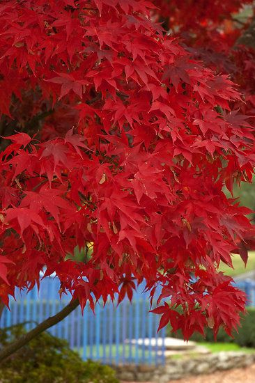 Maple Trees Are So Beautiful All Year Long The Most