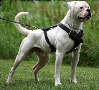 American Bulldog Hybrid Type Ambull American Bulldog